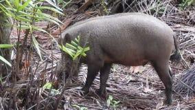 Cerdo barbudo de Bornean, parque nacional de Bako, Borneo, Sarawak, Malasia almacen de video