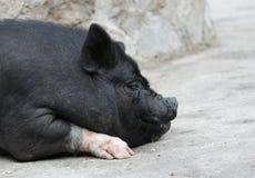 Cerdo barrigón Foto de archivo libre de regalías