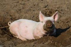Cerdo biológico feliz Fotografía de archivo