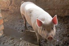 Cerdo blanco en Muddy Pen con los oídos rosados retroiluminados Imagenes de archivo