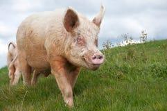 Cerdo blanco grande del verraco imagen de archivo libre de regalías