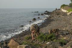 Cerdo a caminar por el mar Foto de archivo