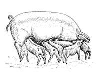Cerdo con los cochinillos Ilustración del Vector