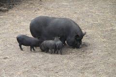 Cerdo con los cochinillos Imagen de archivo