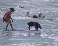 Cerdo contra perro Foto de archivo libre de regalías