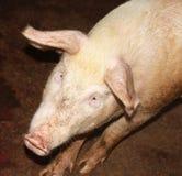 Cerdo curioso Fotos de archivo libres de regalías