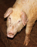 Cerdo curioso Imagen de archivo