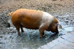 Cerdo danés de la protesta imagen de archivo libre de regalías