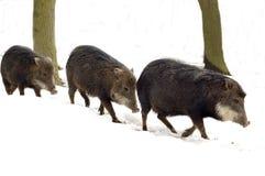 Cerdo de almizcle (tajacu del Tayassu) Fotos de archivo