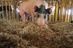 Cerdo de arraigo Fotografía de archivo