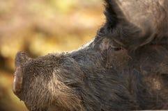 Cerdo de Berkshire Fotografía de archivo libre de regalías