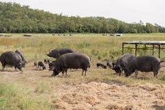 Cerdo de Berkshire en una granja de cerdo orgánica Imagen de archivo libre de regalías