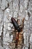 Cerdo de Cerambyx, gran escarabajo del Capricornio imágenes de archivo libres de regalías