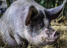 Cerdo de la ensillada Fotografía de archivo