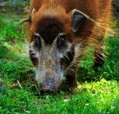 Cerdo de la isla de Ossabaw Fotos de archivo libres de regalías