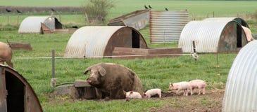 Cerdo de la momia en suciedad Fotografía de archivo