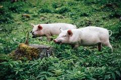 Cerdo de la monta?a foto de archivo libre de regalías