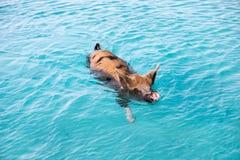 Cerdo de la natación de Exuma Imagen de archivo libre de regalías