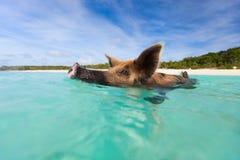 Cerdo de la natación en la isla de Exuma Foto de archivo libre de regalías