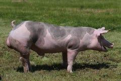 Cerdo de la raza del Duroc-Jersey en la granja en pasto fotos de archivo