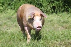 Cerdo de la raza del Duroc-Jersey en la granja en pasto imágenes de archivo libres de regalías