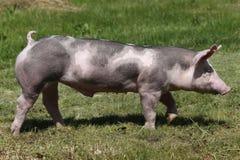 Cerdo de la raza del Duroc-Jersey en la granja en pasto imagen de archivo libre de regalías