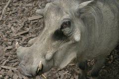 Cerdo de la verruga Fotografía de archivo