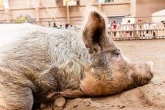 Cerdo de sueño Fotografía de archivo
