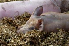 Cerdo de Sunbathin, Alemania fotos de archivo