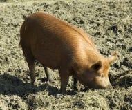 Cerdo de Tamworth Imagen de archivo libre de regalías