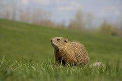 Cerdo de tierra en campo fotografía de archivo