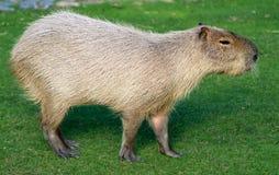 Cerdo del agua Fotografía de archivo
