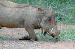 Cerdo del arrodillamiento. Imágenes de archivo libres de regalías