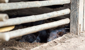 Cerdo del bebé imagen de archivo libre de regalías