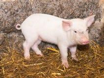 Cerdo del cochinillo fotografía de archivo