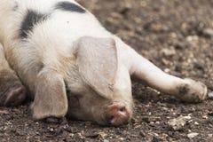 Cerdo del corral Imagenes de archivo