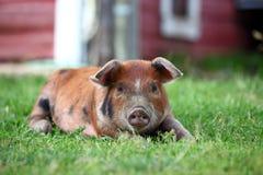 Cerdo del Duroc-Jersey imagen de archivo