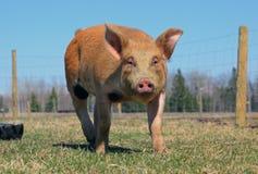 Cerdo del Duroc-Jersey afuera fotos de archivo libres de regalías