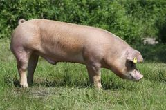 Cerdo del Duroc-Jersey que pasta en el prado foto de archivo libre de regalías