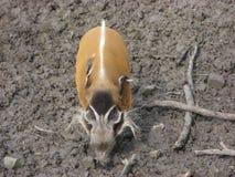 Cerdo del río rojo en fango Fotos de archivo libres de regalías