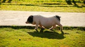 Cerdo del vientre de pote en campo verde Fotografía de archivo