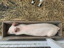 Cerdo del zoo-granja foto de archivo
