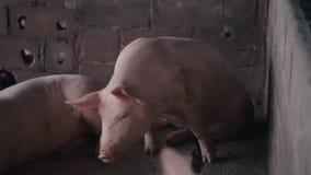 Cerdo dentro de la jaula en la granja almacen de metraje de vídeo