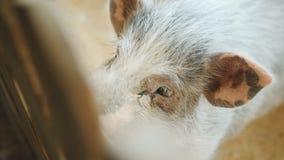 Cerdo detrás de la cerca de madera en el zoo-granja El cerdo manchado en el zoo-granja que pide la comida de visitantes almacen de metraje de vídeo