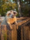 Cerdo detrás de una cerca Foto de archivo libre de regalías