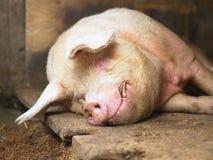 Cerdo el dormir Imagen de archivo