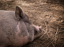 Cerdo el dormir Fotografía de archivo libre de regalías