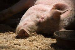 Cerdo el dormir Fotos de archivo