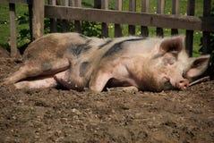 Cerdo el dormir en el sol Imagen de archivo libre de regalías