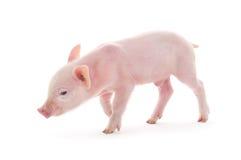Cerdo en blanco Foto de archivo